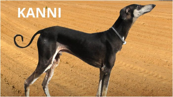 Awesome Kanni Dogs Breeds,  5 Awesome Indian Dog, Kanni Dogs Breeds, Kanni Dogs, top 5 indian dog breeds, best Indian Dog Breeds