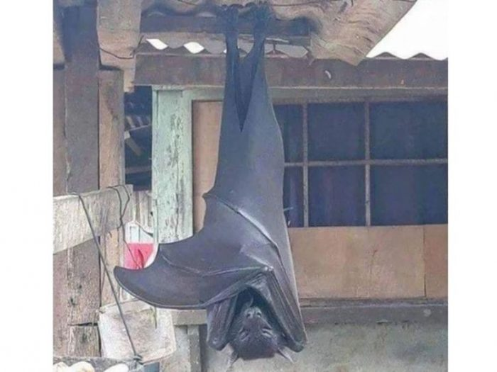Human-sized bat flying, Human-sized bat flying, human sized bats in the philippines