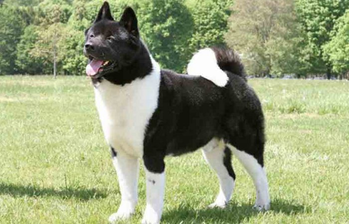 Akita Dog, 10 most dangerous dog breeds, Most aggressive dog breeds