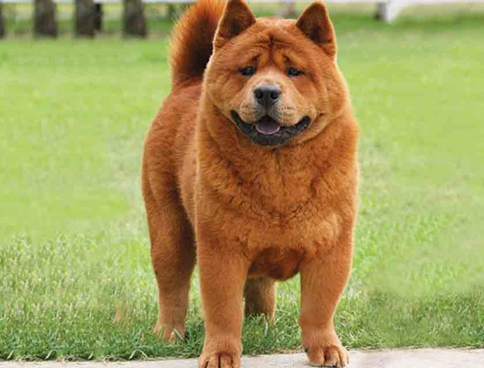 Chow Chow, Costliest Dogs Of The World