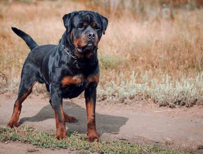 Costliest Dogs Of The World