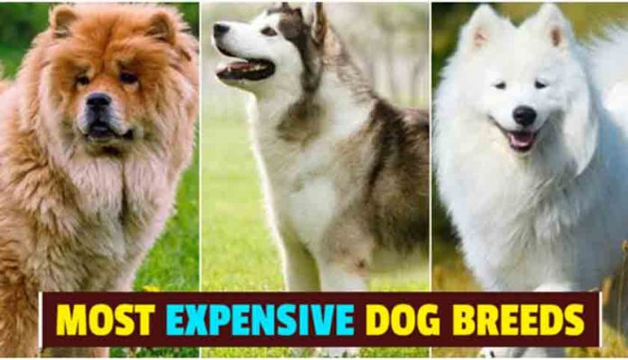 Costliest Dogs Of The World, most expensive dog breeds